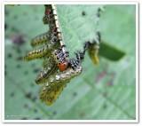 Sawfly larvae (Argidae)