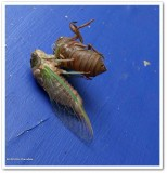 Cicada  (Neotibicen canicularis)