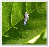 Leafhopper (Scaphoideus sp.)