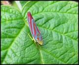Leafhopper (Graphocephala)