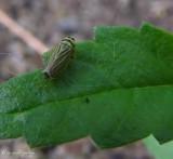 Leafhopper (Amblysellus)
