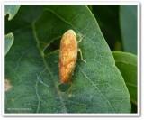Leafhopper (Bandara)