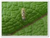 Leafhopper (Macrosteles variatus)