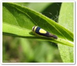 Saddled leafhopper  (Colladonus clitellarius)