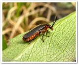 Soldier beetle (Atalantycha sp.)?