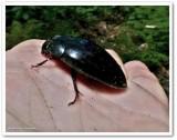 Predacious diving beetle (Dytiscus)?