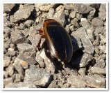 Predacious diving beetle (Hydaticus aruspex)