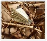 Mustard white (Pieris  oleracea</em)