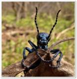 Blister beetle (Meloe sp.) , female