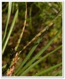 European pine sawflies (Neodiprion sertifer)