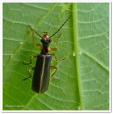 Soldier beetle  (Podabrus  intrusus)