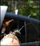 White-spotted Sawyer longhorn beetle, female  (Monochamus scutellatus)