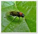 Alder sawfly (Eriocampa ovata), female