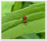Leafhopper  (Scaphytopius)