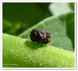 Warty leaf beetle (Neochlamisus)