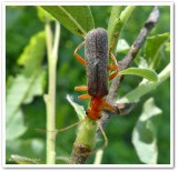 Soldier beetle (Cantharis rotundicollis)