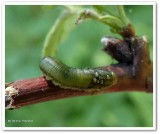 Sawfly larva with parasites