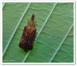 Basswood leaf miner (Baliosus nervosus)