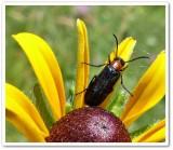 Blister beetle (Nemognatha nemorensis)