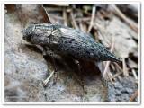 Buprestid beetle (Dicerca sp.)