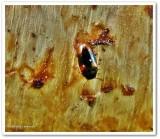 Pleasing fungus beetle (Dacne quadrimaculata)