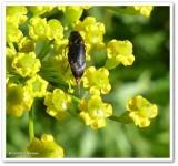 Tumbling flower beetle (Mordellochroa scapularis)