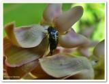Tumbling flower beetle, possibly Mordella lunulata