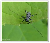 Longhorn beetle (Hyperplatys aspersa)