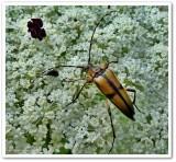 Longhorn beetle (Leptura subhamata), female