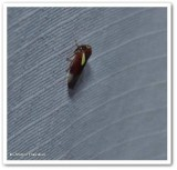 Leafhopper (Balcanocerus  provancheri)