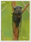 Dog-day cicada (Neotibicen canicularis)