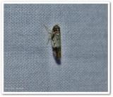 Leafhopper  (Scaphoideus)