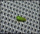 Leafhopper (Stragania)?
