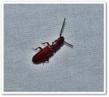 Parasitic Flat Bark Beetles  (Family:  Passandridae)