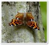 Compton tortoiseshell butterfly (Nymphalis l-album)