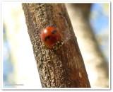 Two-spotted lady beetle (Adalia bipunctata)