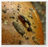 Rove beetle, possibly Oxyporus sp.
