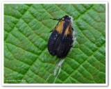 Net-winged beetle (Caenia dimidiata)