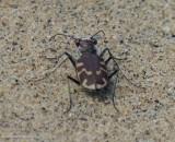 Tiger beetle (Cicindela repanda)