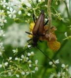 Flower longhorn beetle (Leptura plebeja)