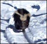 Skunk  (Mephitis mephitis)