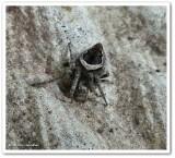 Orb weaver (Eustala sp.)