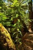 Tree growing from the trunk of fallen manfern