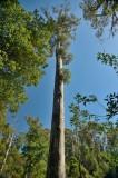 Top half of a tall Eucalypt