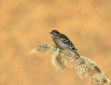 Pic Mineur/ Downy Woodpecker