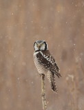 Chouette eperviere / Northern Hawk Owl