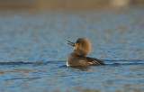Harle Couronné / Hooded Merganster