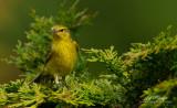 Orange Crested Warbler