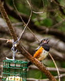 Singing Spotted Towhee