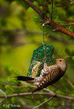 Hungry Northern Flicker
